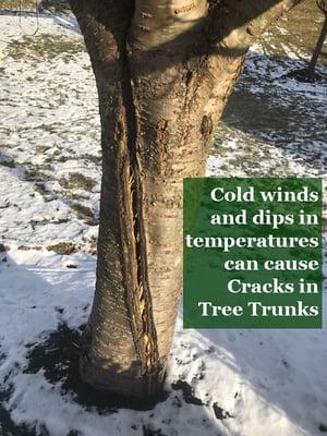 Winter Storms Lead to Hidden Dangers Tree Trunk Cracks
