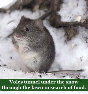 2018-How-to-Combat-Vole-Damage-on-Your-Lawn-vole