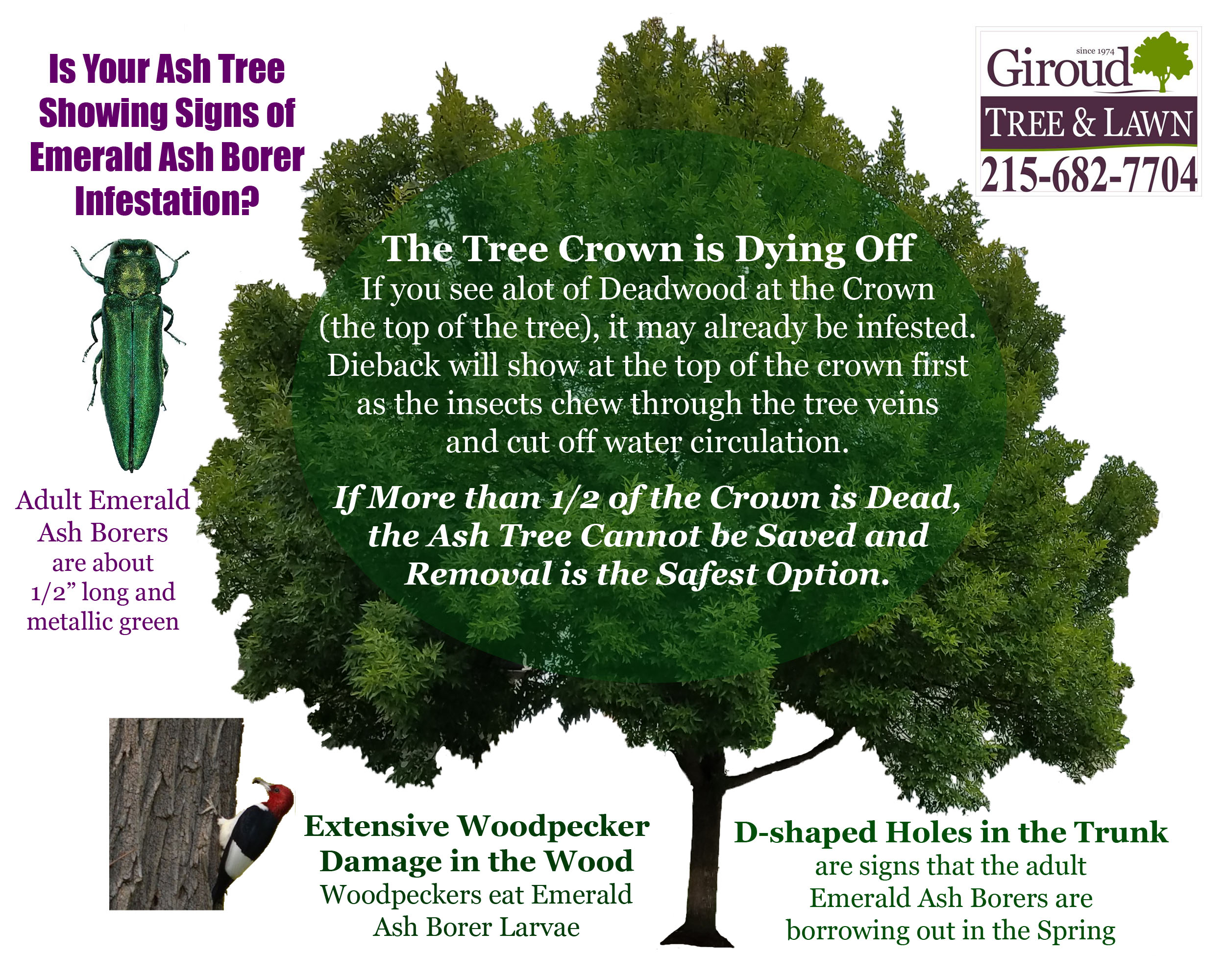 Is Your Tree showing Signs of Emerald Ash Borer Infestation