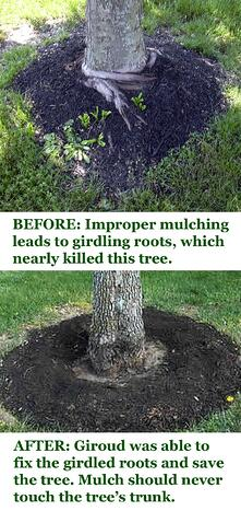 How Recycling Trees Into Mulch Gives Life To Other Trees Girdling Roots