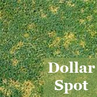 Lawn Fungus Fungal Disease Brown Patch Red Thread Dollar Spot