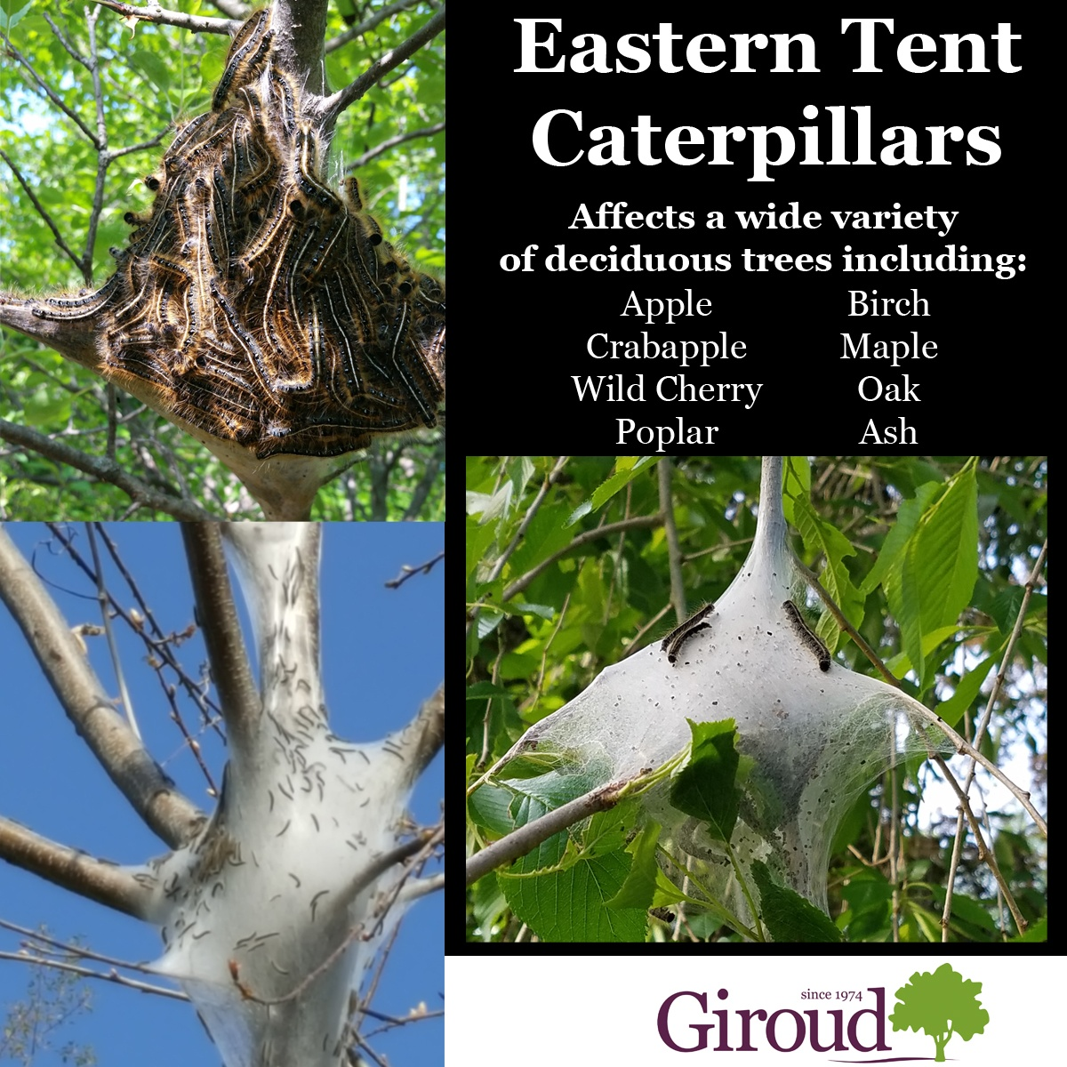 2018-Top-5-Damaging-Insects-You-Need-to-Watch-for-on-trees-and-shrubs-Eastern-Tent-Caterpillar-Facts