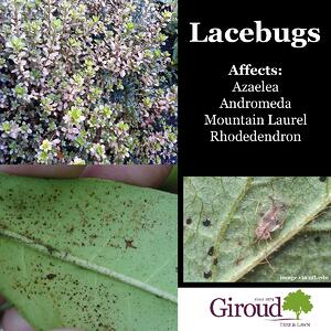 2018-Top-5-Damaging-Insects-You-Need-to-Watch-for-on-trees-and-shrubs-Lacebugs-Facts