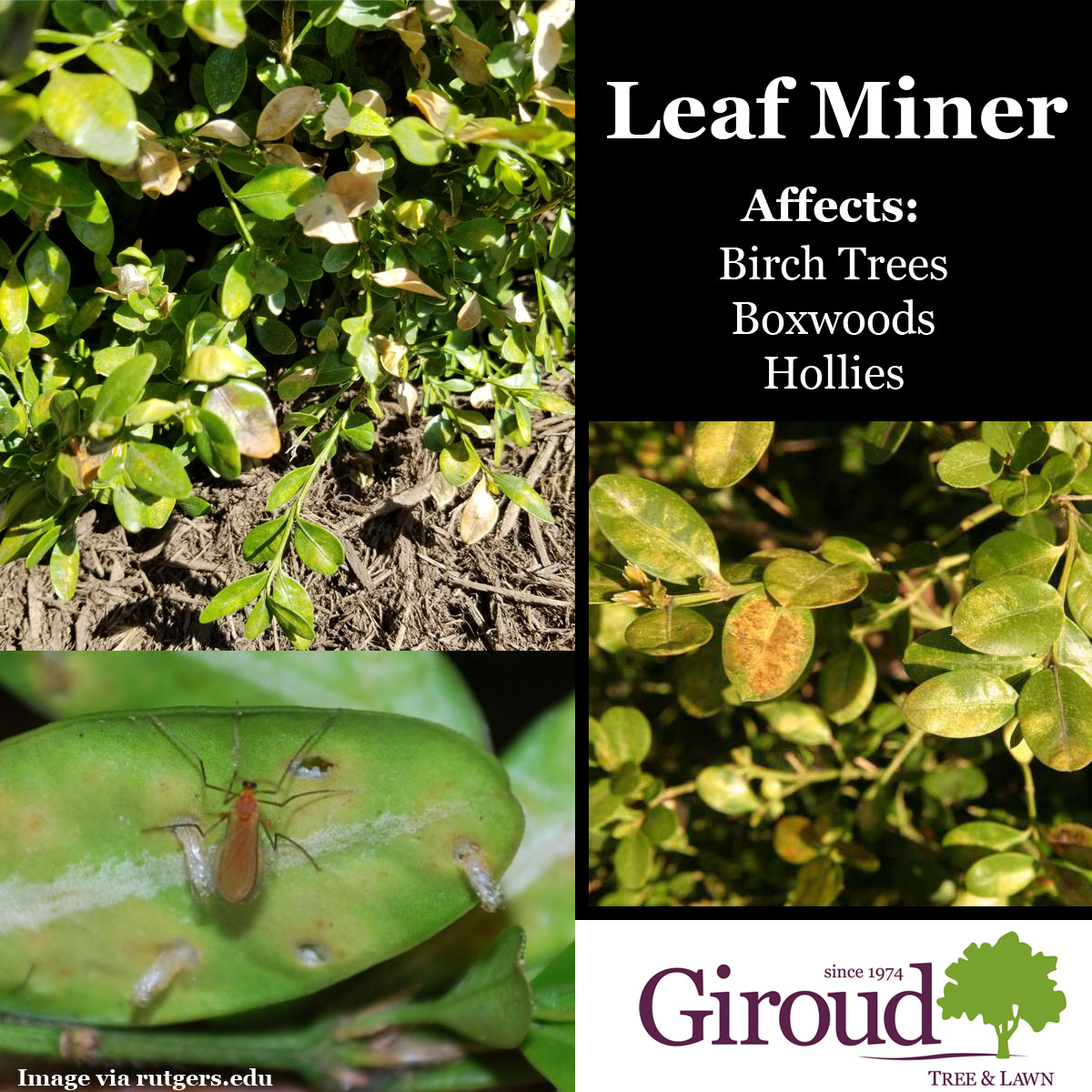2018-Top-5-Damaging-Insects-You-Need-to-Watch-for-on-trees-and-shrubs-Leafminer-Facts