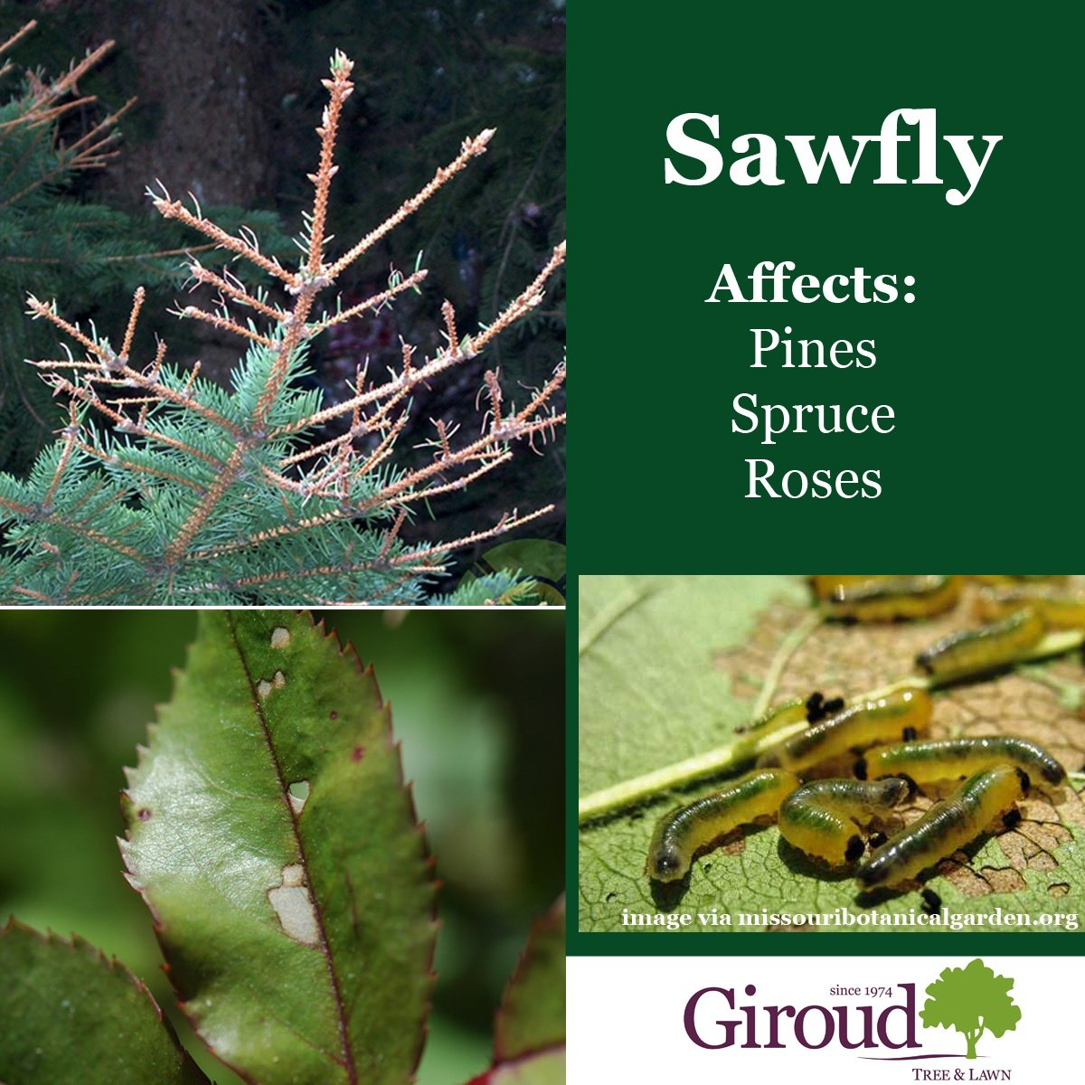 2018-Top-5-Damaging-Insects-You-Need-to-Watch-for-on-trees-and-shrubs-Saw-Fly-Facts