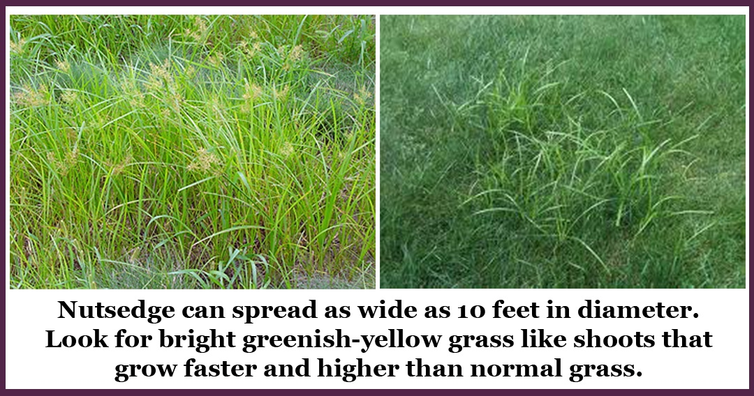 6 Steps to Getting Nutsedge Under Control on Your Property