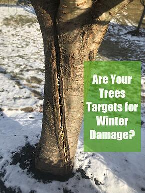 Are your trees targets for winter damage cracked Kwanzan Cherry.jpg