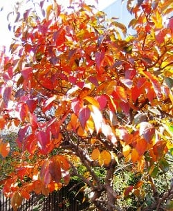 Persimmon Tree Has Beautiful Fall Foliage and Edible Fruit Making It an Great Tree to Plant