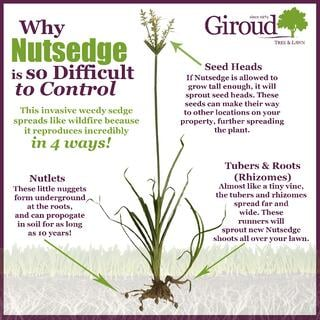 Why Nutsedge is so difficult to control