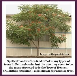 Spotted Lanternfly are attracted to Tree of Life