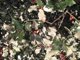 Winter Burn Holly.jpg