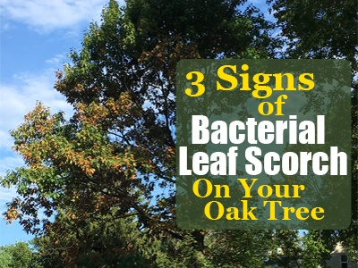 3 Signs of Bacterial Leaf Scorch on Your Oak Tree