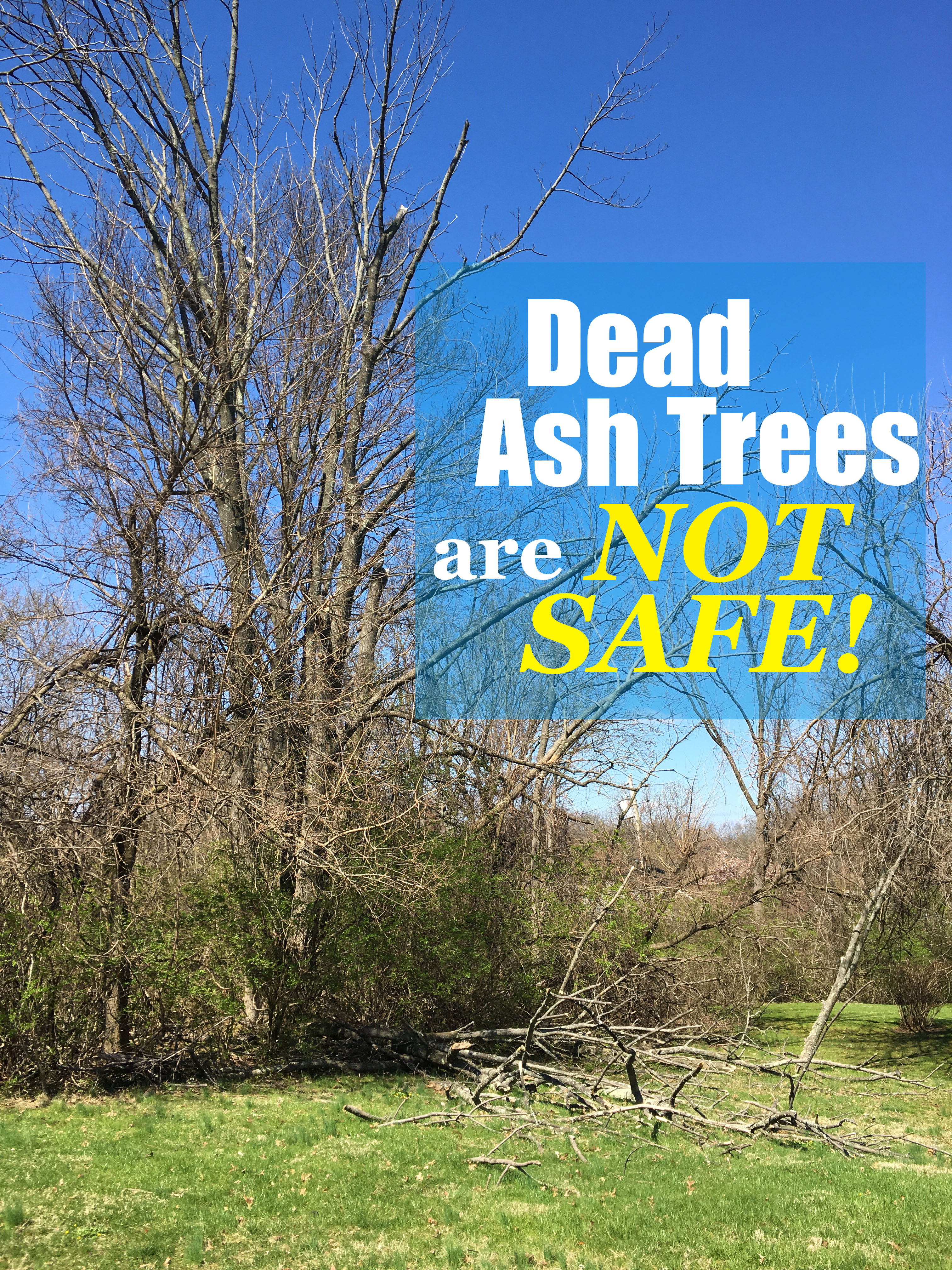 Dead Ash Trees Are Not Safe Emerald Ash Borer