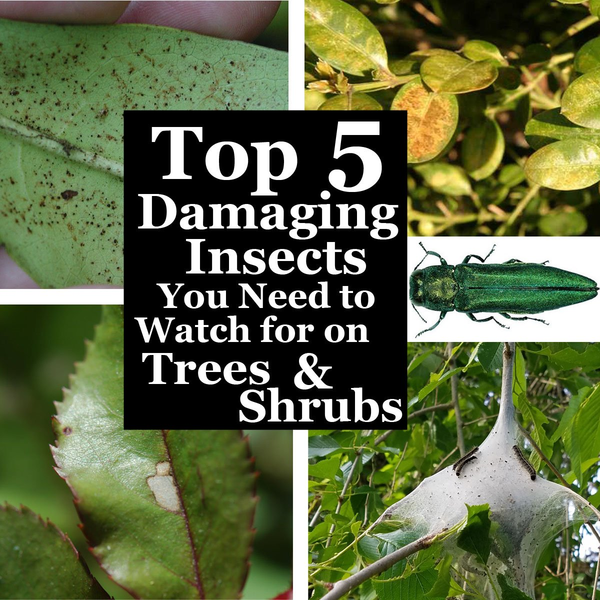 2018-Top-5-Damaging-Insects-You-Need-to-Watch-for-on-trees-and-shrubs-header