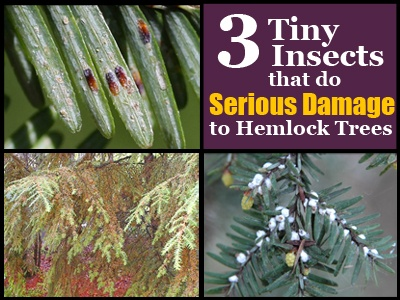 3-Tiny-Insects-that-do-Serious-Damage-to-Hemlock-Trees