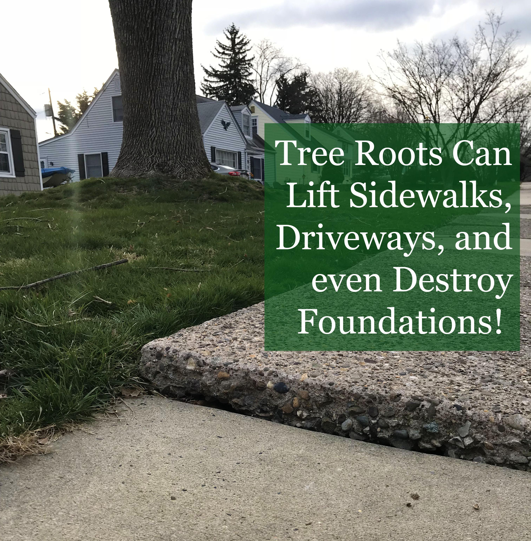 Giant Zelkova Roots Lift and Destroy Homeowner's Sidewalk