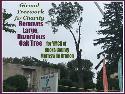 Giroud treework for charity donates removal of large oak for Bucks County YMCA Morrisville